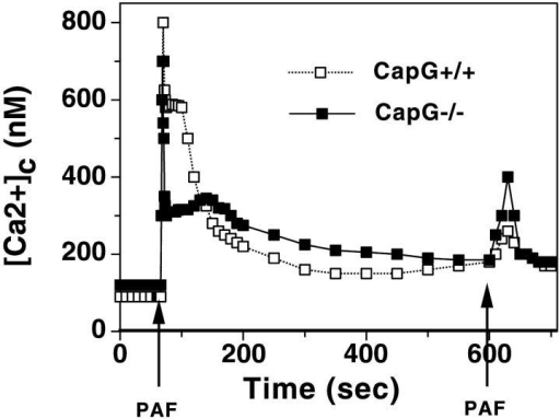 Cytosolic [Ca2+] changes in wild-type and Capg−/− macrophages after stimulation with PAF. Adherent macrophages were loaded with Fura-2 as described in the Materials and methods, and fluorescence was monitored over time. Intracellular Ca2+ was calibrated as described in the Materials and methods. Arrows depict the time point when a final concentration of 20 ng/ml of PAF was added to the buffer. This experiment is representative of 7 determinations in wild-type and 10 determinations in Capg−/− macrophages. The peak [Ca2+]I was 800 nM in wild-type and 750 nM in Capg−/− cells.