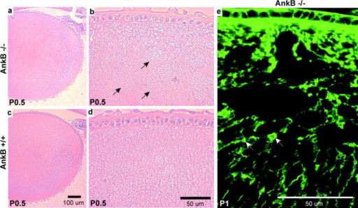 The absence of ankyrin-B causes similar lens fiber disorganization as the absence of NrCAM. (a and b) Longitudinal section through a P0.5 ankyrin-B−/− lens, HE stained. Arrows, rounded abnormal shaped cells. (c and d) Longitudinal section through a P0.5 ankyrin-B+/+ sibling lens, HE stained. (e) Longitudinal section through a P1 ankyrin-B−/− lens, stained with the F-actin stain FITC-phalloidin. Arrows, aggregates of F-actin.