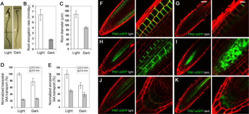 Root growth, auxin transport and intracellular localization of PIN proteins in Arabidopsis plants grown in the presence and absence of light.(A) A 5-day-old seedling grown under light developed a long root, short hypocotyl and two fully-expanded cotyledons (left); by contrast, a dark-grown seedling developed a short root, long hypocotyl, two un-expanded cotyledons and an apical hook (right). Arrows marked hypocotyl-root junction. (B) Root elongation rate was 6.4±1 and 1.8±0.1 mm/day for light- and dark-grown plants, respectively (n = 10; repeated three times, p<0.05). (C) Root diameter was 148±12 and 90±5 µm for light- and dark-grown seedlings, respectively (n = 10; repeated three times, p<0.05). Normalized root basipetal auxin transport (D) and acropetal auxin transport (E) in dark-grown plants was 77% and 50% that of light-grown counterparts (n = 8; repeated three times, p<0.05). (F-K) Shown were median optical sections of root tips of plants grown in light (F, H, I) and dark (G, I, K), expressing PIN2-eGFP (F, G), PIN1-eGFP (H, I) and PIN7-eGFP (J, K), and counter stained for cell walls with propidium iodide (red). Error bars represent standard deviations. Scale bars, 2 mm (A); 50 µm (F-K; left panels); 10 µm (F-K; right panels).