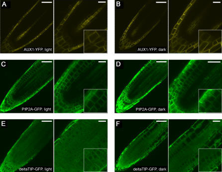 Localization of AUX1-YFP, PIP2A-GFP and deltaTIP-GFP in light- and dark-grown plants.AUX1-YFP was mainly localized to the basal PM of lateral root cap and central pre-vascular cells, and to the PM of root columella cells in both light-grown (A) and dark-grown (B) seedling roots. PIP2A-GFP was predominantly on the PM of all root cells, except that it was excluded from the quiescent center and surrounding initial cells, of light-grown plants (C). In dark-grown seedlings, a detectable level of PIP2A-GFP accumulated in vacuolar compartments (D). deltaTIP-GFP labeled both the PM and tonoplast membrane of root cells of light-grown (E) and dark-grown (F) plants. Shown in right and insets were close-up images. Scale bars, 50 µm (left), 25 µm (right).