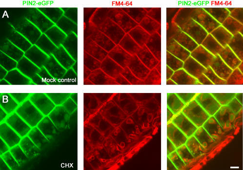 Vacuolar accumulation of PIN2-eGFP did not require de novo protein synthesis.Five-day-old light-grown PIN2-eGFP seedlings were pulse-labeled with an endocytosis marker, FM4-64, and pre-treated on growth media with or without cycloheximide (CHX; 50 µM) for 30 min. The plants were then shifted to dark and incubated for 4 hrs. In the absence of cycloheximide, PIN2-eGFP (green) accumulated in vacuolar compartments marked by FM4-64 (red) (A). Similarly, in the presence of cycloheximide, PIN2-eGFP also accumulated in vacuolar compartments in plants after shift to dark (B). Shown were root epidermis cells. Scale bar, 10 µm.