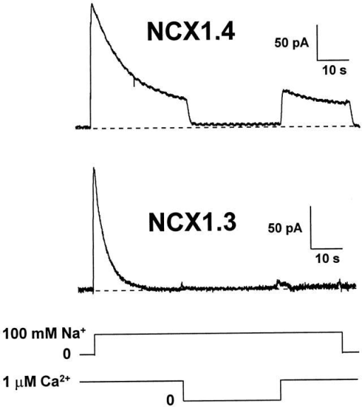 Ca2+i regulation of outward Na+–Ca2+ exchange currents for NCX1.4 and NCX1.3. Representative records are shown for NCX1.4 and NCX1.3, where currents were activated by applying 100 mM Na+i in the presence of 1 μM Ca2+i. Regulatory Ca2+i was present for 32–48 s before the application of transport Na+i. Upon approaching steady state current levels, Ca2+i was removed for 16 s, and then reapplied for a further 16-s interval before deactivating exchange current by returning to a Li+i-based perfusing solution. The traces shown are typical of five patches for NCX1.4 and three patches for NCX1.3.