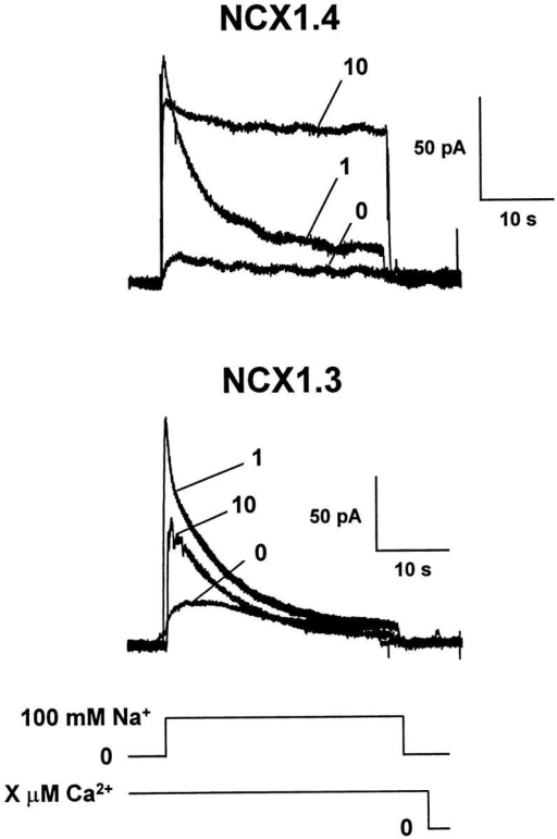 Ca2+i dependence of outward Na+–Ca2+ exchange currents for NCX1.4 and NCX1.3. Currents were activated by applying 100 mM Na+i with regulatory Ca2+i present at the indicated concentrations for 32–48 s before and throughout the current recordings. After a current activation event, patches were perfused with a Li+i-based perfusing solution containing a new [Ca2+]i for 32–48 s to allow for equilibration and recovery from the previous activation/inactivation event.