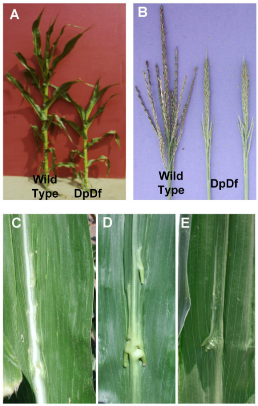 Phenotypic effects of DpDf segmental aneuploidy in maize. (A) DpDf plants are smaller and are ca. 2 weeks behind in development. (B) DpDf plants display partially necrotic tassels that are shorter and have fewer branches. The main rachis of the tassel tends to be thicker than in wild-type siblings. (C-E) show views of the knots that form on the leaves of DpDf plants. The adaxial surface of the leaf blade (C) shows ectopic ligule formation near the midrib while the abaxial surface (D and E) display knot-like protrusions.