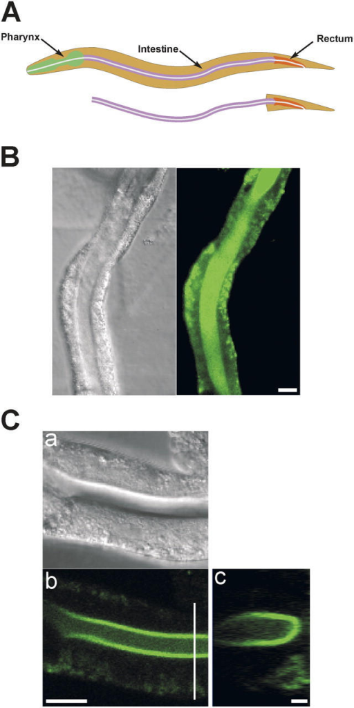 Isolated intestine preparation. (A) Schematic diagrams of worm digestive tract and isolated intestine. (B) Differential interference contrast (DIC) and fluorescence micrographs of an isolated intestine loaded with fluo-4 AM. Bar, 20 μm. (C) DIC and fluorescence confocal micrographs (panels a and b) of an isolated intestine loaded with fluo-4 AM. Panel c is a reconstruction of a series of cross sections. Location of the cross sections is shown by the white vertical line in panel b. Bars in panels b and c are 20 μm and 2 μm, respectively.