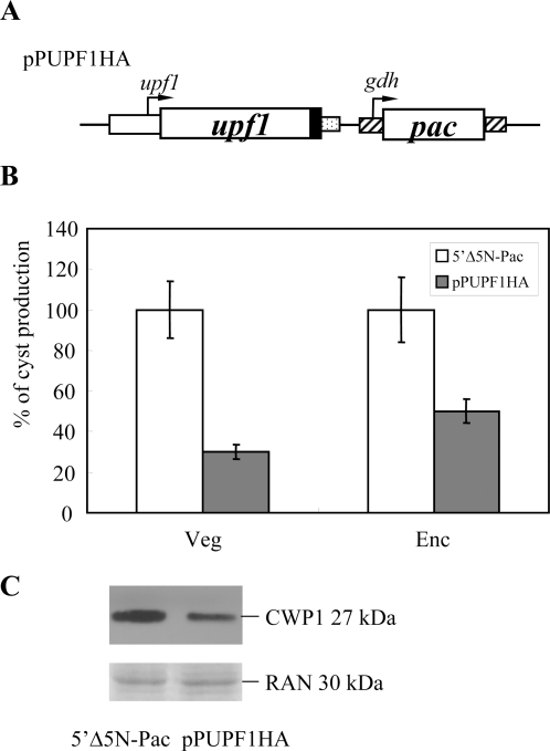 Overexpression of UPF1 reduced the levels of CWP1 and cyst formation.(A) Diagrams of the pPUPF1HA plasmid. The pac gene (open box) expression cassette is the same as in Fig. 2. The upf1 gene is under the control of its own 5′-flanking region (open box) and the 3′-flanking region of the ran gene (dotted box). The filled black box indicates the coding sequence of the HA epitope tag. (B) Overexpression of UPF1 reduced the levels of cyst formation. The 5′Δ5N-Pac and pPUPF1HA stable transfectants were cultured in growth medium to late log/early stationary phase (Veg). Cyst count was performed on these late log/early stationary phase cultures (1.5×106 cells/ml). In another study, the 5′Δ5N-Pac and pPUPF1HA stable transfectants were cultured in encystation medium for 24 h and then subjected to cyst count (Enc). The sum of total cysts is expressed as relative expression level over control. Values are shown as mean±standard error. (C) Overexpression of UPF1 reduced the CWP1 level. The 5′Δ5N-Pac and pPUPF1HA stable transfectants were cultured in encystation medium for 24 h and then subjected to SDS-PAGE and Western blot. The blot was probed by anti-CWP1 antibody. Equal amounts of proteins loaded were confirmed by detection of giardial RAN protein. Representative results are shown.
