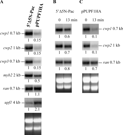 Effect of UPF1 overexpression on cwp gene expression.(A) Overexpression of UPF1 decreased the cwp1-3 and myb2 mRNA levels. Total RNA was harvested from vegetative 5′Δ5N-Pac and pPUPF1HA transfectants. Northern blots were hybridized with specific probes as indicated (upper panels). (B)(C) Overexpression of UPF1 decreased the cwp1 and cwp2 mRNA stability. Total RNA was harvested from either 5′Δ5N-Pac (B) or pPUPF1HA (C) transfectants during vegetative growth. The cells were treated without (0 min) or with 45 µg/ml actinomycin D for 13 min to arrest mRNA synthesis. Northern blot were hybridized with specific gene probes as indicated (upper panels). Ribosomal RNA loading controls are in the bottom panels. Representative results are shown. The numbers show the relative activity, which reflects expression relative to that in controls. The cwp1 and cwp2 signals from Fig. 4B and C were a long exposure to show the difference in the AcD treated and untreated samples.
