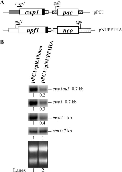 Overexpression of UPF1 decreased mRNA levels of vector-based cwp1 gene.(A) Diagrams of the pPC1 and pNUPF1HA plasmids. The neo or pac gene (open box) expression cassette is the same as in Fig. 2. In pPC1, the cwp1 gene (open boxes) is flanked by its own 5′-flanking region (gray box) and 3′-flanking region of the ran gene (dotted box) and the filled black box indicates the coding sequence of the AU5 epitope tag. In pNUPF1HA, the upf1 gene is under the control of its own promoter (open box) and the 3′-flanking of the ran gene (dotted box) and the filled black box indicates the coding sequence of the HA epitope tag. (B) Northern blot analysis of au5 tagged cwp1 transcripts in vegetative cells (upper panel). Total RNA blots made from pPC1+pRANneo or pPC1+pNUPF1HA transfectants were hybridized with the au5 specific probe (au5hyb), and specific gene probes as indicated (upper panels). Ribosomal RNA loading controls are in the bottom panel. Representative results are shown. The numbers show the relative activity, which reflects expression relative to that in controls.