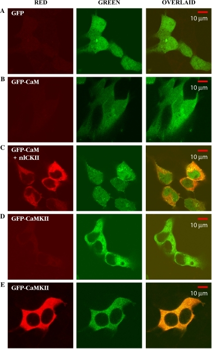 Immunolabeling of transfected HEK293 cells. Red channel in most cases corresponds to the signal coming from Alexa-568 labeled goat anti-mouse secondary following labeling with a monoclonal antibody to αCaMKII. The green channel is eGFP or the eGFP construct signal. The overlay of the two channels is shown in the third column. (A) HEK293 cells expressing GFP; we see no evidence of endogenous αCaMKII, evidenced by the lack of signal in the red channel. (B) eGFP-CaM expressed on HEK293 cells when no antibody treatment was performed, showing little cross talk signal from the green channel into the red channel. eGFP-CaM is distributed homogeneously within the cells with slightly lower expression in the nucleus. (C) Coexpression of eGFP-CaM and the nonlabeled form of αCaMKII; we see similar results to those in B, plus we see signal from the red channel, indicating expression of αCaMKII in each cell that is also expressing eGFP-CaM. CaMKII is largely excluded from the nucleus, whereas eGFP and eGFP-CaM are not. The appearance of very bright spots possibly reflects recycling vesicles due to overexpression of eGFP-CaM. (D) Expression of eGFP-CaMKII, with the primary monoclonal antibody specific for αCaMKII was omitted from the staining protocol. Note the very weak signal in the red channel, which represents background fluorescence and/or some modest bleed-through of the green channel similar to row B. (E) eGFP-CaMKII expressed in HEK293 cells stained with monoclonal antibody specific to αCaMKII. Note that both signals overlay almost perfectly, as expected.