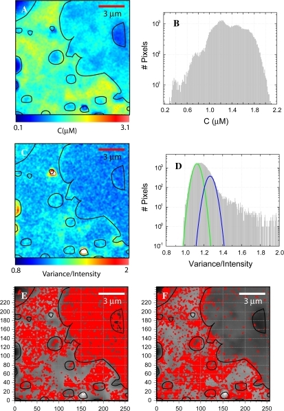 N&B analysis of eGFP-CaM transfected HEK293 cell. (A) The concentration map of eGFP-CaM of the same cell shown in Fig. 4. (B) The concentration histogram as the total number of pixels (y axis) plotted against concentration in μM (x axis). (C) The brightness map as the variance/intensity is scaled over the range from 0.8 to 2.0. (D) Brightness histograms of the data shown in (C); the total number of pixels (y axis) are plotted against B (x axis). On top of the B-histogram, the green Gaussian represents the contribution of a single eGFP, and the blue Gaussian represents the pixels representing two eGFP-CaMs per complex. These pixels are shown on red as a binary map on E and F, respectively.
