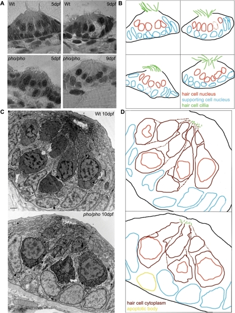 The development of the neuromasts in the lateral line is normal in the phoenix mutant larvae.(A) Semi-thin sections showing wild-type (top panels) and mutant neuromasts (bottom panels) in 5dpf (left panels) and 9dpf (right panels) larvae. (B) Camera lucida drawing for each section, highlighting the hair cells nuclei (red) and their cilia (green) and the supporting cells nuclei (blue). (C) Ultra-thin sections viewed by Electron Microscopy (EM) of a wild-type (top panel) and a mutant (lower panel) neuromast in 10dpf larvae. The hair cells stain darker than the supporting cells. (D) Camera lucida drawings of the EM sections, highlighting the hair cell nuclei (red), cell bodies (dark red), and cilia (green). The nuclei of the supporting cells are highlighted (blue). One apoptotic body was visible in (yellow). – 5 microns in (A) and 1 micron in (C).
