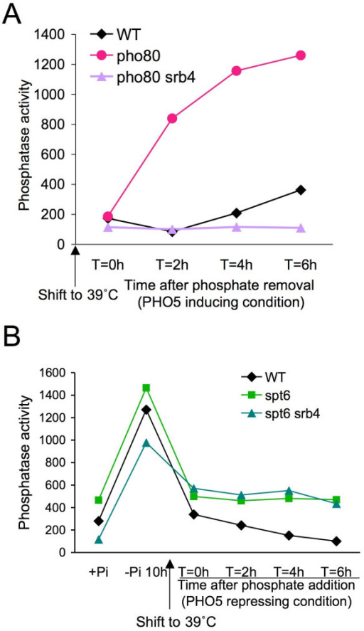 Mediator is not required for PHO5 transcription in the absence of activators in vivo. (a) Mediator is required for transcriptional initiation of PHO5 in vivo. Strains JKT0010 (WT), ROY010 (pho80), and ROY011 (pho80 srb4) growing in phosphate containing media (PHO5 repressed) were shifted to 39°C in low phosphate media, followed by analysis of PHO5 induction via the phosphatase activity assay. (b) Mediator is not required for continued transcription from the nucleosome-depleted promoter in the absence of activators. Strains JKT0010 (WT), JMY002 (spt6), and SKW067 (spt6 srb4) were shifted to 39°C while PHO5 transcription was occurring in low phosphate media, followed by the addition of phosphate as the signal to repress PHO5 transcription and analysis of PHO5 induction via the phosphatase activity assay.