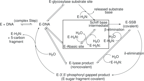 "Reactions catalyzed by lyase-capable BER glycosylases.This diagram illustrates the possible reaction pathways catalyzed by these enzymes. The proportions of abasic sites and – and –elimination products in the product spectra depend on the intrinsic chemistry of the imine intermediates and the relative rates of their (1) hydrolytic turnover, e.g., Schiff base intermediateE–Abasic site and (2) conversion to ""downstream"" products, e.g., Schiff base intermediateE–SSB (covalent). This report mainly investigates the reactions corresponding to E–Abasic site intermediateSchiff base in the figure: the collapse of the amine nitrogen onto the carbonyl carbon to form the carbinolamine intermediate followed by its dehydration. These reactions are outlined by the rectangular box in the figure. E–DNA may represent the enzyme bound at the location of either an abasic site, a pyrimidine photodimer or a lyase product of the – or –elimination type."