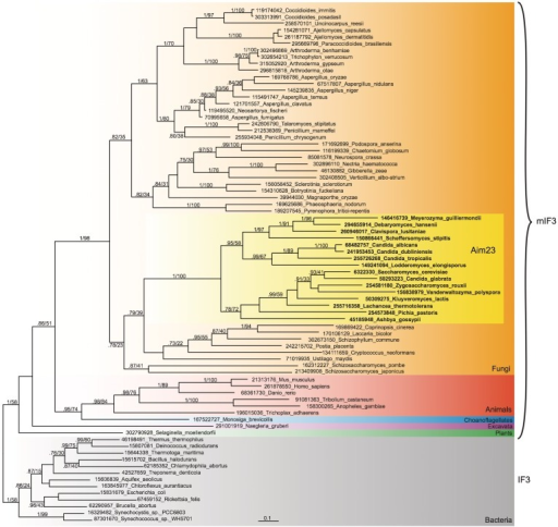 Phylogenetic tree of mitochondrial IF3 (mIF3), Aim23p and bacterial IF3. The tree is a MrBayes consensus tree, generated from 156 aligned amino acids. The standard deviation of split frequencies at the end of the MrBayes run was 0.015. Branch support, GI numbers and substitutions per site are indicated as per Figure 1. The Aim23p clade is indicated with a dashed box.