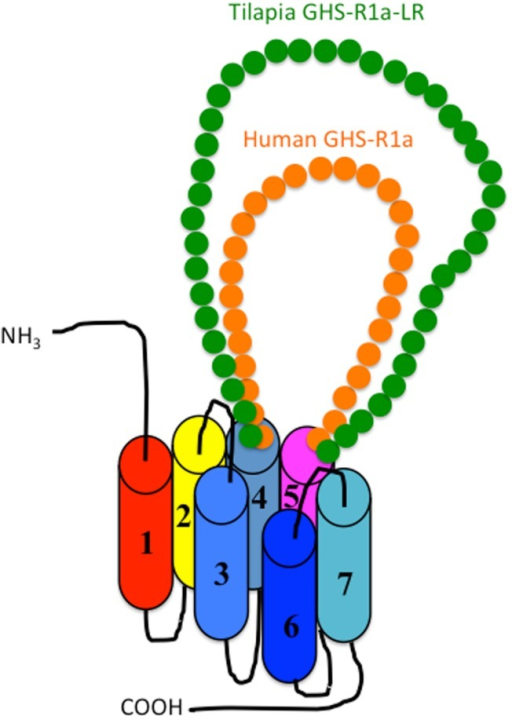 Schematic diagram of the second extracellular loop (ECL2) in the GHS-R1a and GHS-R1a-like receptors. Human GHS-R1a, which has a short ECL2 (orange), and tilapia GHS-R1a-like receptor (GHS-R1a-LR), which has a long ECL2 (green), are shown as representative examples. The length of ECL2 in human GHS-R1a is 28 amino acids (AAs), whereas the ECL2 in tilapia GHS-R1a-LR is 43 AAs. Each receptor is classified in a different branch of the phylogenetic tree (Figure 2). GHS-Ra, which includes GHS-R1a or 2a, is found in tetrapods including chickens (birds), mammals, reptiles, and amphibians, as well as some bony fishes such as Coelacanthiformes, Cypriniformes (e.g., goldfish, carp, and zebrafish), and Siluriformes (channel catfish). These animal species have the receptor with the short ECL2. In contrast, GHS-R1a-LR is found only in a fish group that includes Perciformes such as tilapia, Gasterosteiformes such as stickleback and medaka, Tetraodontiformes such as pufferfish, and Salmoniformes such as rainbow trout.