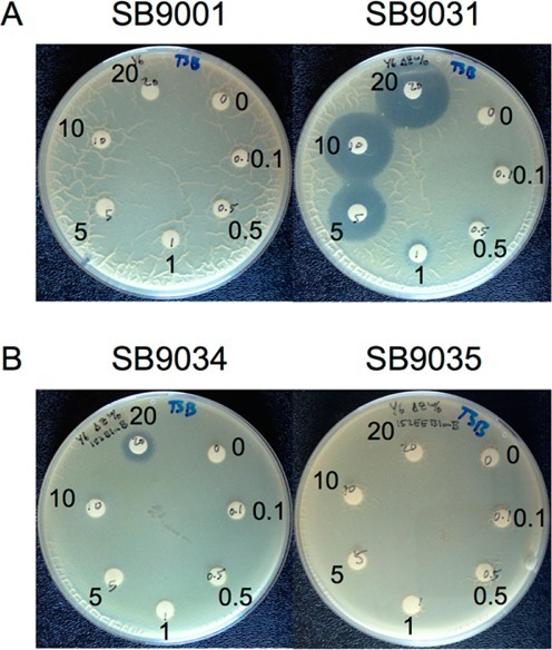 Disk diffusion assays for Cu(II)-ZBM susceptibility ofselected S. flavoviridis recombinant strains in comparisonwith thewild-type strain. (A) SB9001 (wild-type) and SB9031 (ΔzbmA-orf38) challenged with 0, 0.1, 0.5, 1, 5, 10, and 20μg of Cu(II)-ZBM (clockwise from the top right filter, respectively).(B) SB9034 (i.e., SB9031/pBS65 expressing blmB underits putative native promoter) and SB9035 (i.e., SB9031/pBS66 expressing blmB under the ErmE* promoter) challengedwith 0, 0.1, 0.5, 1, 5, 10, and 20 μg of Cu(II)-ZBM (clockwisefrom the top right filter, respectively).