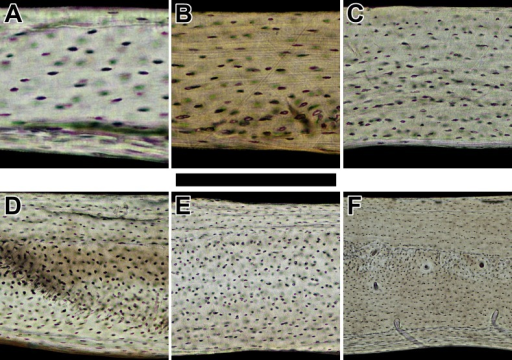 Histology of humeri in sampled bats ordered by ascending body mass.Non-polarized imagery reveals avascular to poorly vascularized compacta. Representative views are from the anterior octant of (A) Rhinolophus lepidus, (B) Macrotus californicus, (C) Phyllostomus discolor, (D) Noctilio leporinus, (E) Rousettus leschenaultii, and (F) Pteropus vampyrus. Periosteal surface points up in each panel. Scale bar equals (A) 150 µm, (B) 200 µm, (C) 300 µm, (D & E) 400 µm, and (F) 800 µm. Digital slides are available at http://paleohistology.appspot.com.