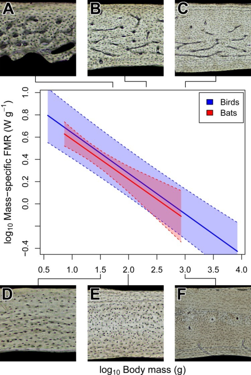 Interspecific scaling of mass-specific field metabolic rate (FMR) in bats and birds.Bat and bird data points are omitted for clarity. Shaded regions are 95% confidence bands. Representative views of histology from avian ((A) Phalaenoptilus nuttallii, (B) Nothura darwinii, (C) Tinamus major) and chiropteran ((D) Phyllostomus discolor, (E) Rousettus leschenaultii, (F) Pteropus vampyrus) humeri suggest that the vascular dichotomy between bats and birds is not related to mass-specific FMR.