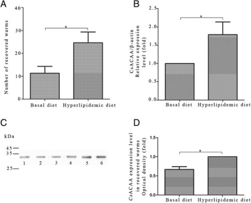 Worm burden in rabbit models and expression level ofCsACAT in the worms. (A) Worm burden in hypercholesteremia or basal diet fed rabbits 6 weeks after C. sinensis infection. All data are presented as mean ± SD, *p < 0.05, **p < 0.01. (B) The mRNA level of CsACAT in adult worms extracted from hypercholesteremia or basal diet fed rabbits, normalized with Cs β-actin. (C) The protein levels of CsACAT in adult worms of the two groups. Lane 1–3, total proteins of worms recovered from basal diet treated rabbits probed with rat anti-rCsACAT serum. Lane 4–6, total proteins of worms recovered from hypercholesteroemic rabbits blotted with rat anti-rCsACAT serum. (D) Optical density analysis of the protein levels in Figure 5C. The optical density was calculated by Tanon Gis software and analyzed by Student's t test, *p < 0.05.