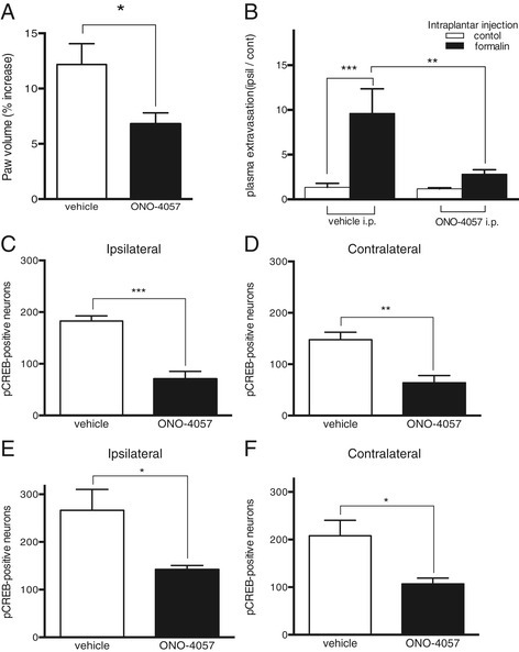 ONO-4057 pretreatment affects peripheral inflammation and pCREB expression in the dorsal horn 20 min after intraplantar formalin injection. (A) Paw edema formation 1 h after formalin injection. (* p < 0.05, ONO-4057 (i.p. 0.25 mg) treated mice vs. vehicle (i.p.) treated mice, n = 5–6, unpaired Student's t-test with Welch's correction). (B) Quantification of Evans blue dye extravasation 1 h after formalin or vehicle injection. (** p < 0.01,*** p < 0.001, n = 6, Kruskal-Wallis with Dunn's multiple comparison test). The number of phosphorylated CREB (pCREB)-positive neurons in the ipsilateral (C) and contralateral (D) dorsal horns of the spinal cord after intraplantar injections of formalin in mice pretreated with intraperitoneal ONO-4057 (0.25 mg, i.p.). (** p < 0.01, *** p < 0.001 vs. vehicle-pretreated mice, n = 4–5, unpaired Student's t-test with Welch's correction). Counts of pCREB-positive neurons in the ipsilateral (E) and contralateral (F) dorsal horn of the spinal cord after intraplantar formalin injection in mice pretreated with intraplantar ONO-4057 (2.35 μg, ipl.) injections. (* p < 0.05 vs. vehicle-pretreated mice, n = 5, unpaired Student's t-test with Welch's correction).