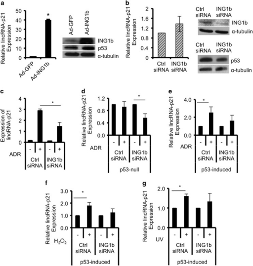 ING1b regulates lincRNA-p21 expression, and both ING1b and p53 are required for lincRNA-p21 induction after DNA damage. (a) Following infection of normal human diploid fibroblasts (Hs68) with adenoviral constructs containing GFP (Ad-GFP) or GFP-ING1b (Ad-ING1b), expression of lincRNA-p21 was measured using qRT-PCR, normalized to β-actin and graphed relative to Ad-GFP controls. ING1b, p53 and α-tubulin protein levels were examined using western blot analysis. (b and c) Hs68 cells were transfected with control or ING1b siRNAs for 32 h, and a subset was treated with Adriamycin (ADR) for another 16 h. RNA levels of lincRNA-p21 were measured using qRT-PCR, normalized to GAPDH and graphed relative to controls. ING1b and p53 protein levels were determined using western blot and normalized to α-tubulin protein expression. P53- and p53-induced H1299 cells were transfected with ING1b or control siRNAs for 24 h before treatment with 500 nM ADR for 16 h (d and e), 100 μM hydrogen peroxide (H2O2) for 24 h (f) and 85 J/m2 of UV (24 h) (g). RNA was extracted and lincRNA-p21 was quantified using qRT-PCR. All values in this figure represent an average of three independent experiments (asterisks indicate P<0.05)