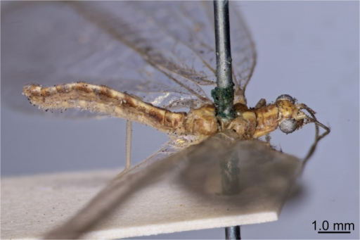Lectotype of Chrysoperla carnea (Stephens).Mounted female specimen (voucher: BMNH(E) 1239048) is shown before dissection and abdomen extraction.