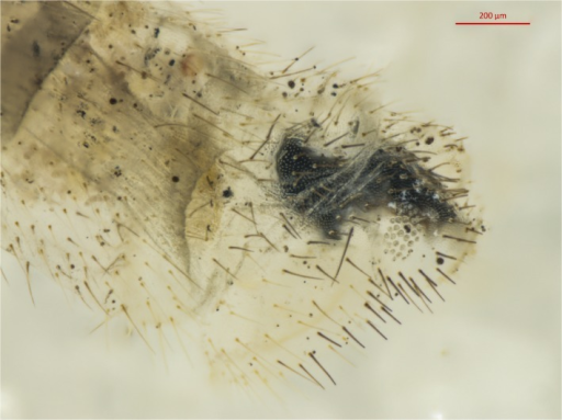 Terminalia of Chrysoperla carnea lectotype.Tip of abdomen is shown following DNA extraction.