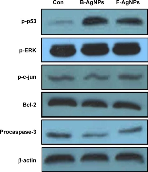 Western blot analysis of p-p53, p-Erk1/2, p-c-Jun, Bcl-2, procaspase-3, and actin expression in MDA-MB-231 cells exposed to B-AgNPs or F-AgNPs.Notes: MDA-MB-231 cells were treated with respective IC50 concentrations of B-AgNPs or F-AgNPs for 24 hours. Expression of p-p53, p-Erk1/2, p-c-Jun, Bcl-2, and procaspase-3 protein levels were determined by Western blot analysis. Both B-AgNPs and F-AgNPs led to increased levels of p-p53, p-Erk1/2, and decreased levels of procaspase-3, whereas no alteration in expression was observed for p-c-Jun. Bcl-2 expressions significantly reduced. Equal protein loading was confirmed by analysis of β-actin protein levels. The results are representative of three independent experiments.Abbreviations: B-AgNPs, bacterium-derived AgNPs; Con, control; F-AgNPs, fungus-derived AgNPs; IC50, half-maximal inhibitory concentration.