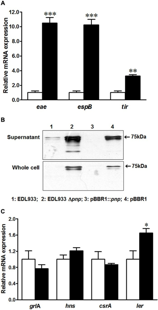 Type three secretion system (T3SS) and its regulators in E. coli O157:H7 EDL933 strains. (A) mRNA expressions of T3SS; (B) Tir protein content in E. coli O157:H7; (C) mRNA expression of T3SS regulators. EDL933: wild-type E. coli O157:H7 strain; EDL933 Δpnp: EDL933 pnp deletion mutant strain; pBBR1: EDL933 Δpnp strain carrying an empty vector pBBR1; pBBR1::pnp: EDL933 Δpnp strain complemented with pBBR1::pnp. □: EDL933; ■: EDL933Δpnp; ***P < 0.001, **P < 0.01, *P < 0.05 (Mean ± SEM; n = 4).