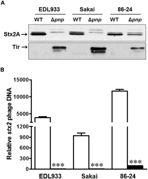 Effects of PNPase on the virulence factors of E. coli O157:H7 EDL933, Sakai, and 86-24 strains. (A) Stx 2A and Tir protein contents by immunoblotting; (B)stx2 phage DNA content by qPCR. □: wild-type (WT); ■: pnp deletion mutant (Δpnp). ***P < 0.001 (Mean ± SEM, n = 4).