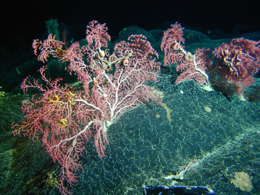 Cobalt crusts, seen here with colonies of bubblegum coral (Paragorgia arborea) at a depth of 350 m, are found on undersea mountains swept by high currents. Japan is the only country that has invested substantially in technologies to extract these deposits.© NOAA