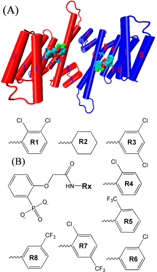 (A) Initial structure of the 14-3-3σ protein and its inhibitors. The two identical chains of the dimer are shown in red and blue color, respectively. Helices are shown as labeled cylinders. The inhibitors are shown in large ball representation. The key residues are shown in ball and stick representation. (B) Molecular structures of eight inhibitors of the 14-3-3σ protein.