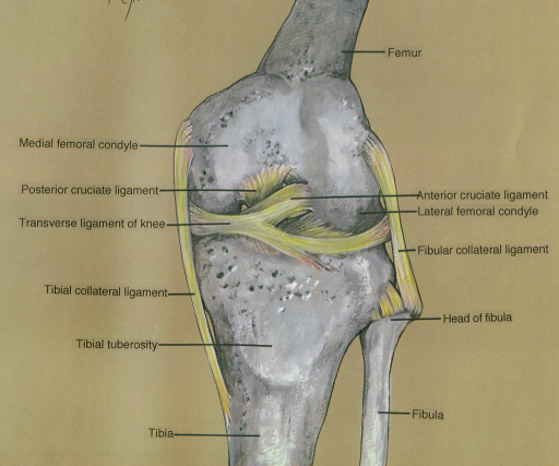 medial femoral condyle; posterior cruciate ligament; transverse ligament of knee; tibial collateral ligament; tibial tuberosity; tibia; femur; anterior cruciate ligament; lateral femoral condyle; fibular collateral ligament; fibula