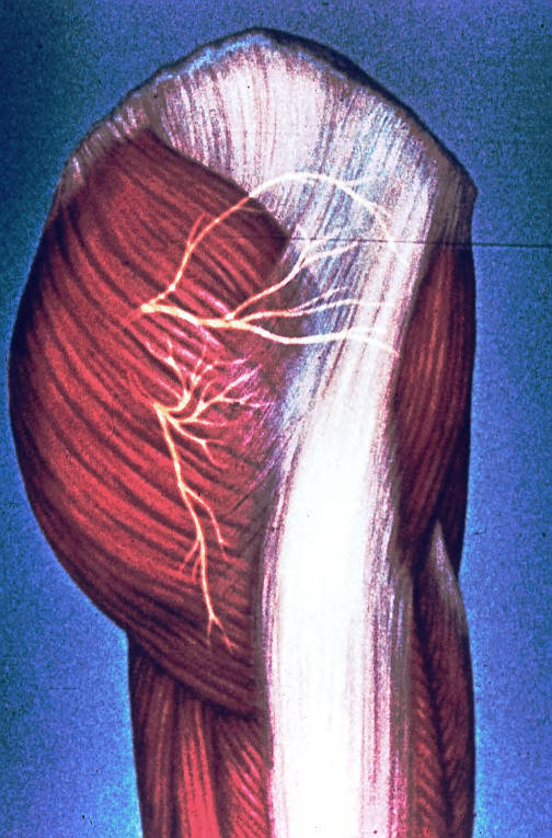 superior cluneal nerves; middle cluneal nerves; cutaneous cluneal nerves