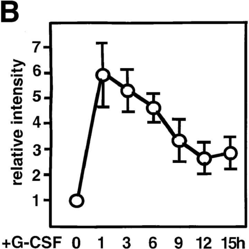 Induction of c-myc mRNA expression via gp130 signaling in  BAF-G277 cells. (A) Northern blot analysis for c-myc mRNA expression  in G-CSF–stimulated BAF/B03 transfectants expressing a chimeric receptor consisting of the G-CSFR extracellular domain and the transmembrane and cytoplasmic domains of gp130, including the full-length, 277  amino acid–long cytoplasmic domain (BAF-G277). Total RNAs were  extracted from BAF-G277 cells (lanes 1–7) and parental BAF/B03 cells  (lanes 8–10) which had been deprived of IL-3 for 12 h and then stimulated with 100 ng/ml G-CSF for the indicated periods of time and subjected to Northern blot analysis for detection of c-myc mRNA (top) and  CHO-B mRNA (bottom), the latter being controls for the amounts of  loaded RNA. (B) Kinetic changes in the c-myc mRNA levels. Values for  c-myc mRNA levels were normalized to those for the corresponding  CHO-B mRNA levels and were plotted. Means ± SD of data from three  independent experiments are shown. (C) c-myc mRNA induction in the  presence of an inhibitor for protein synthesis. Total RNAs were extracted  from BAF-G277 cells, which had been deprived of IL-3 for 12 h and  then stimulated with 0 (lanes 1 and 3) or 100 ng/ml of G-CSF for 1 h  (lanes 2 and 4) in the absence (lanes 1 and 2) or presence (lanes 3 and 4) of  30-min pretreatment of cells with 10 μg/ml of cycloheximide, and were  subjected to Northern blot analysis for c-myc and CHO-B mRNA expression as in A.