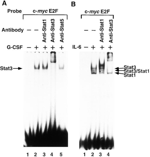 The nature of the gp130-signal–induced DNA binding activities at the  c-myc promoter E2F site. Nuclear extracts  from (A) IL-3–deprived BAF-G277 cells  and (B) serum-starved HepG2 cells either  untreated (A and B, lane 1) or treated with  G-CSF (A, lanes 2–5) or IL-6 (B, lanes 2–4)  at 100 ng/ml for 15 min were preincubated  without (A and B, lanes 1 and 2) or with  anti-STAT1 mAb (A and B, lane 3), anti-STAT3 antibody (A and B, lane 4), or anti-STAT5 antibody (A, lane 5) for 30 min on  ice before the addition of 32P-labeled c-myc  E2F oligonucleotides, and were then subjected to electrophoresis and autoradiography. The positions of the gp130-signal  inducible complexes containing STAT3,  STAT3/STAT1, and STAT1 are indicated.  (C) Nuclear extracts from serum-starved  HepG2 either unstimulated (lanes 1 and 3) or stimulated with IL-6 for 15 min (lanes 2 and 4) were subjected to EMSA with c-myc E2F oligonucleotide  probe (lanes 1 and 2) and APRE oligonucleotide probe (lanes 3 and 4). (D) Binding specificity of IL-6–inducible c-myc E2F site–binding complexes. Nuclear extracts from serum-starved HepG2 cells either untreated (lane 1) or treated with IL-6 (lanes 2–8) were preincubated with unlabeled oligonucleotide competitors (50- or 250-fold molar excess as indicated) for 5 min, followed by incubation with labeled c-myc E2F probes. The competitors used  were unlabeled oligonucleotides containing the c-myc E2F site (lanes 3 and 4), the adenovirus E2 E2F site (lanes 5 and 6), or the α2 macroglobulin  APRE (lanes 7 and 8).