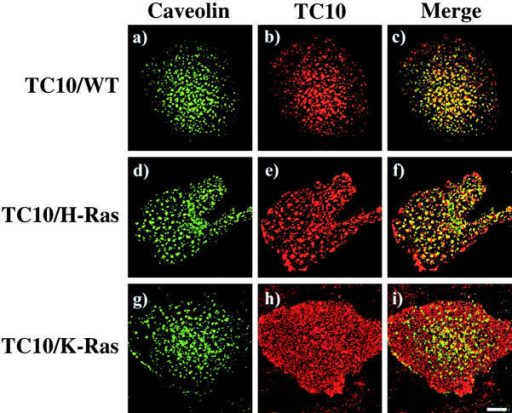 The expressed TC10/WT and TC10/H-Ras chimeras specifically colocalize with caveolin. Differentiated 3T3L1 adipocytes were electroporated with 50 μg of HA epitope–tagged TC10 (a–c), TC10/H-Ras chimera (d–f), and TC10/K-Ras chimera (g–i) cDNAs, and plasma membrane sheets were prepared 18 h later. The plasma membrane sheets were then colabeled with a polyclonal caveolin 1 antibody (a, d, and g) and a monoclonal HA antibody (b, e, and h). Merged images are presented in panels c, f, and i. These are representative plasma membrane sheets from three independent determinations.