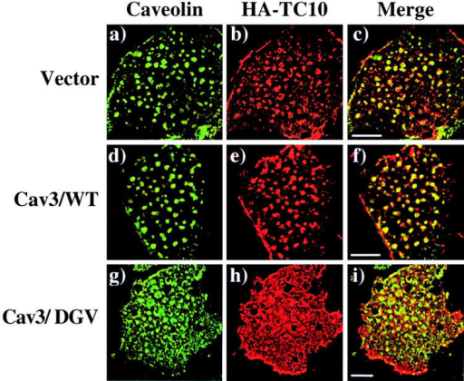 Expression of a dominant- interfering caveolin 3 mutant disrupts the plasma membrane subdomain compartmentalization of TC10. Differentiated 3T3L1 adipocytes were coelectroporated with 50 μg of HA-TC10 plus 200 μg of the empty vector (a–c), wild-type caveolin 3 (Cav3/WT; d–f), or the dominant-interfering caveolin 3 mutant (Cav3/DGV; g–i). 36 h later, the cells were fixed, plasma membrane sheets were prepared and subjected to confocal fluorescent microscopy with a polyclonal caveolin 1 antibody (a, d, and g), and a monoclonal HA antibody (b, e, and h). The merged images are shown in panels c, f, and i. These are representative field of cells from two independent determinations. Bar, 10 μM.