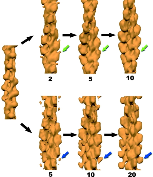 Results of the IHRSR method can be seen for singly decorated (bottom) and half- decorated filament segments (top). An atomic model of F-actin (Holmes et al., 1990) has been filtered to low resolution (left), and this is used as the starting point for subsequent cycles of the procedure. Images of filament segments, each containing about 14 actin subunits, have been sorted based upon both differences in twist and in the binding of ut261 (Figs. 2 and 3). The morphing of the half decorated filaments from the starting actin model (left) during this procedure is shown after 2, 5, and 10 cycles using 1,396 filament segments. The green arrow indicates the single density due to ut261 that emerges. For the 772 segments classified as singly decorated, a stable solution requires more iterations. The results after 5, 10, and 20 cycles are shown. The blue arrow indicates the density that we have interpreted as being due to CH2 (Fig. 6).