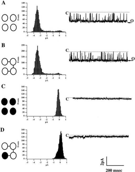 The complete dominant negative effect of one Kir 1.1a 331X is confirmed in single channel recordings. Single channel records and corresponding all-points amplitude histograms were obtained in cell-attached mode at Vm = −80 mV from oocytes injected with either (A) wt Kir 1.1a, (B) 4wt concatenated tetramer, (C) Kir 1.1a 331X, or (D) 3wt + 1mut concatenated tetramer. Occasional small-conductance channel events could be detected in some recordings from oocytes injected with the mutant or mutant-containing concatemer cRNA. These do not likely reflect mutant channel function, as similar events could be detected in uninjected oocytes. Identical results were obtained for both mutant-containing concatemers (1mut + 3wt, not shown).