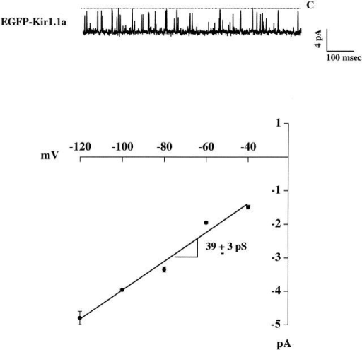 Fusion of EGFP to the Kir 1.1a NH2 terminus does not alter channel function. Shown are representative single channel recording (Vm = −80 mV) and corresponding current–voltage relationship, obtained in the cell-attached mode from oocytes injected with EGFP-Kir 1.1a cRNA. EGFP-Kir 1.1a opens with the identical inward slope conductance (bottom) and open probability (0.91 ± 0.01) as the wild-type channel.