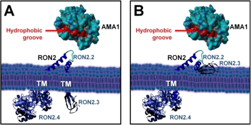 Current alternative models of the RON2-AMA1 interaction at the MJ.(A) with TgRON2 C-terminal domain exposed inside the host cell; (B) with TgRON2 C-terminal domain exposed outside. TgAMA1 ectodomain was rendered from structural data ([20], (PDB ID: 2X2Z)) using Yasara view software (www.yasara.org) with molecular surface rendering. Amino acids from the hydrophobic groove region are coloured in red. No structure currently exists for TgRON2, but the protein was grossly schematized based on secondary structure predictions.