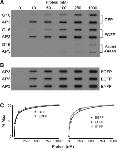 Binding of FBPAs to GFPs and spectrally shifted GFP variants. (A) Comparison of G16 and AP3 binding to FPs show that AP3 binds GFP and EGFP with higher affinity than G16, and that binding to the coral protein Azami-green is of much lower affinity. (B) Filter-binding assay shows similar affinity of AP3 to GFP-related proteins. (C) Hill plot fits of data shown in (A) and (B) show similar affinity of AP3 to GFP-related proteins.