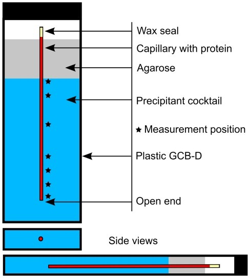 Graphical representation of a typical counter-diffusion experiment set-up in a GCB-Domino (Triana S&T).The dimension of the GCB-Domino is approximately 70 mm high × 17.2 mm wide × 7.0 mm thick. The open end of the capillary allows the precipitant (in blue) to diffuse against the much slower diffusive protein solution, thereby inducing the precipitation of the latter. The capillaries are kept in place by an agarose plug sitting at the top of the precipitant solution. Each mark (*) shows a DLS measurement position, at 0.7, 2.2, 5.1, 9.9, 11.8, 18.7 and 24.5 mm from the open end.