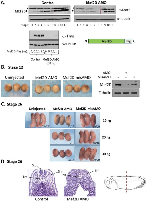 Axial abnormalities in MEF2D-knockdown embryos.(A) Upper panel: Western blot analysis of MEF2D protein extracted from control embryos and MEF2D AMO-injected embryos at different stages from fertilization to late gastrula stages. Lower panel: Embryos were injected with different concentrations of MEF2D-Flag mRNA, without or with AMO to MEF2D. MEF2D-Flag protein was detected by Western blot analysis using anti Flag antibodies (M2, Sigma). (B) Control uninjected embryos, MEF2D AMO-injected embryos and mismatch-AMO injected embryos. Left panel: Stage 12 embryos; MEF2D AMO delays blastopore closure. Right panel; Western blot of endogenous MEF2D from uninjected, MEF2D AMO and mismatch AMO-injected embryos. (C) Stage 26 embryos that were injected with different amounts of MEF2D AMO and mismatch AMO. (D) Transverse sections in the trunk region of stage 26 control uninjected embryo (left panel) and MEF2D AMO-injected embryo (right panel). The scheme at the right shows the position where sections were performed. Abbreviations: Sm-Somite; Nt-Notochord; S.c-Spinal cord.