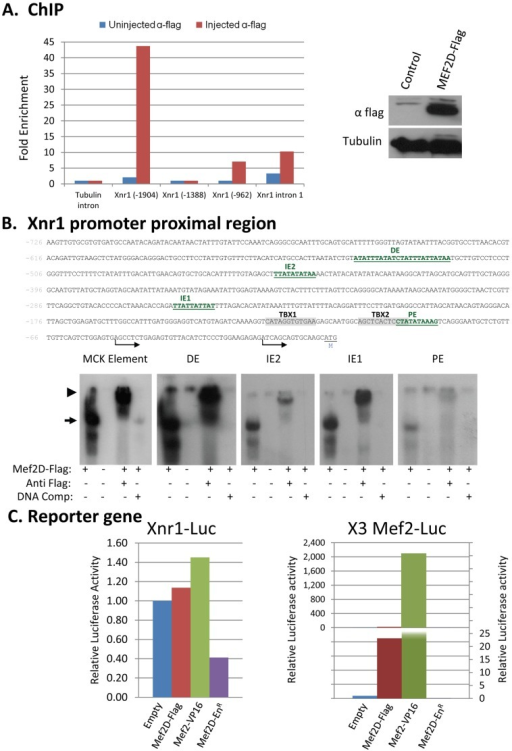 "MEF2D associates with Xnr1 regulatory elements.(A) Chromatin immunoprecipitation (ChIP): Embryos were injected with mRNA encoding MEF2D-Flag and at stage 10, crosslinked sheared chromatin was prepared. Chromatin was immunoprecipitated with anti-Flag (polyclonal, Sigma) or with pre immune serum (control) and was subjected to a qPCR reaction with several pairs of primers (left). Expression of the injected MEF2D-Flag protein was analyzed by Western blot (right). (B) Upper panel: Xnr1 promoter sequence (proximal region) with highlighted putative binding sites of MEF2. PE-proximal element; IE1, 2-Intermediate element 1, 2; DE-distal element; TBX1, 2- T box binding sites (VegT) [47]. Arrows show the two transcription start site and ""M"" the translation initiation codon. Lower panel: EMSA of each of the MEF2 binding elements coupled with protein extracts of stage 9 control embryos as well as embryos injected with mef2d-flag mRNA. Anti-flag antibody (1 µl, 0.1 µg/µl) was included in some reaction mixtures while unlabeled homologous double stranded oligonucleotides in 100 fold excess over the probe was included in others, as indicated. Unbound probes are not shown. Arrow indicates the MEF2D-DNA complex. Arrowhead indicates the Anti MEF2-MEF2D-DNA complex. (C) 293T HEK cells were transfected as indicated. Thirty six hours later, proteins were extracted and luciferase activity was measured and was normalized to total protein levels. Activity of the reported gene with an empty vector was set to a value of 1 and values of other treatments were standardized accordingly. Means of two independent experiments are presented."