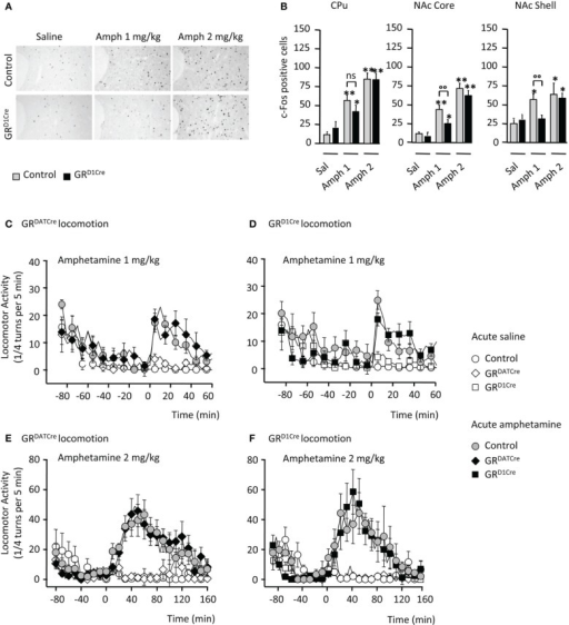 Impaired molecular but not locomotor responses following an acute amphetamine challenge in GRD1Cre mice. (A) Representative example of c-Fos induction in the NAc core of a control and a GRD1Cre mouse in response to saline, amphetamine 1 and 2 mg/kg. (B) Amphetamine-induced c-Fos expression in the caudate-putamen (left panel), the nucleus accumbens core (middle panel), and shell (right panel) of control and GRD1Cre mice. n = 4–8 animals per group; saline vs. drug: *P < 0.05; **P < 0.01; control vs. mutant: °°P < 0.01. Locomotor activity is expressed as the sum of ¼ turns in a circular cylinder per 5 min following acute drug (gray or black) or saline (white) injections in control (circles), GRDATCre (diamonds), and GR1Cre (squares) mice. (C) Similar locomotor response to a single injection of saline and amphetamine (1 mg/kg) in control and GRDATCre mice. Interaction Drug × Time F(29, 840) = 7.9, P < 0.001, with no genotype effect F(1, 420) = 1.3, P > 0.05. (D) Control and GRD1Cre mice equally respond to an acute 1 mg/kg of amphetamine. Interaction Drug × Time F(87, 780) = 1.7, P < 0.001, with no genotype effect F(1, 656) = 0.1, P > 0.05. (E,F) Amphetamine (2 mg/kg) induced a robust increase in locomotor response regardless of the genotype in control and GRDATCre mice [(E), no genotype effect F(1, 637) = 0.3, P > 0.05] and control and GRD1Cre mice [(F), no genotype effect F(1, 686) = 0.8, P > 0.05].
