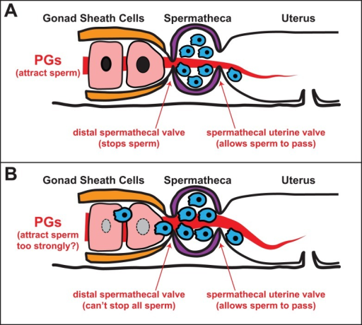 Sperm vigor and female defenses undergo sexually antagonistic coevolution.(A) In a benign interaction between the sexes, male sperm compete for position in the spermatheca, and a combination of female signals and control of the distal spermathecal valve prevent them from entering the ovary. (B) Because of sperm competition, some males develop more competitive sperm that cannot be excluded from the ovary and thus become invasive; resulting fitness costs will favor additional female countermeasures through sexually antagonistic coevolution.