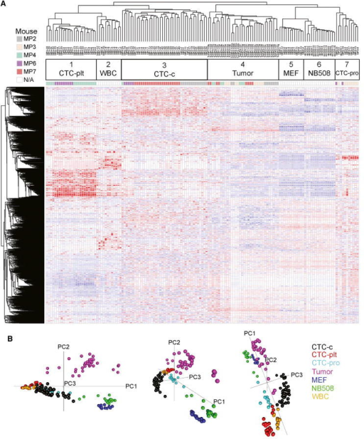 Single-Cell RNA-Seq Global Analysis(A) Unsupervised hierarchical clustering of candidate single CTCs (1, 3, and 7), single WBCs (2), single MEFs (5), single NB508 cancer cell line (6), and bulk primary tumors diluted to 10 or 100 pg of RNA (4). CTC-c, classical CTCs; CTC-plt, platelet-adhered CTCs; CTC-pro, proliferative CTCs. Data shown log transformed and median polished.(B) Principal component analysis of single-cell samples.