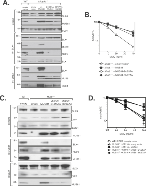 MUS81 mutations that cannot interact with SLX4 cause ICL repair defects in human cells but not mouse cells. (A) Mus81−/− MEFs were infected with retroviruses expressing wild-type MUS81, MUS81 24/25AA or MUS81 66/67AA. Wild-type MEFs (WT) and Mus81−/− MEFs infected with empty virus were used as controls. Extracts were subjected to western blotting to test expression (upper panel) or immunoprecipitation with anti-SLX4 (middle panel) and anti-EME1 antibodies (lower panel). (B) Clonogenic survival analysis of Mus81−/− MEFs stably expressing MUS81, MUS81 24/25AA or MUS81 66/67AA, exposed to MMC. For each genotype, cell viability of untreated cells was defined as 100%. Mus81−/− MEFs infected with empty virus were used as controls. Data are represented as mean ± SEM, n = 3. (C) MUS81−/− HCT116 cells were infected with retroviruses expressing MUS81, MUS81 24/25AA or MUS81 66/67AA. Wild-type cells (WT) and MUS81−/− HCT116 cells infected with empty virus were used as controls. Extracts were subjected to western blotting to test expression (upper panel) or immunoprecipitation with anti-MUS81 and anti-SLX4 antibodies (lower panel). (D) Clonogenic survival analysis of MUS81−/− HCT116 cells stably expressing MUS81, MUS81 24/25AA or MUS81 66/67AA, exposed to MMC. For each genotype, cell viability of untreated cells was defined as 100%. Wild-type HCT116 and MUS81−/− HCT116 cells infected with empty virus were used as controls. Data are represented as mean ± SEM, n = 3.